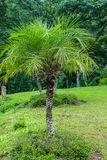 Pigmejowa Daktylowa palma (Phoenix roebelenii) Zdjęcia Royalty Free