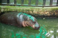 Pigmejowa hipopotamowa woda pitna w klatki Tajlandia otwartym zoo Zdjęcia Stock