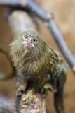 Pigmejowa pazurczatka lub Cebuella pygmaea Zdjęcia Stock