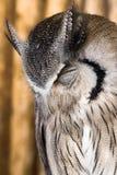 Pigmejowa sowa, Glaucidium brodiei 1 roczniak odizolowywa na tle obrazy royalty free
