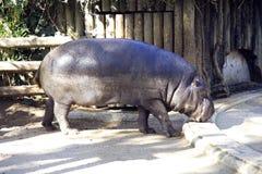 Pigmejowego hipopotama raciczny ssak Zachodnia Afryka gęsta skóra chrapy Zdjęcie Stock