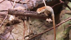 Pigmejowej pazurczatki małpy cebuella pygmaea zbiory