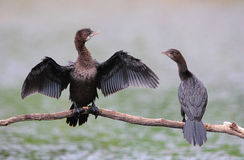 Pigmejowi kormorany Zdjęcia Stock