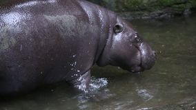 Pigmejowy hipopotam, Pigmejowy hipopotam, odpoczywa w wodzie zdjęcie wideo