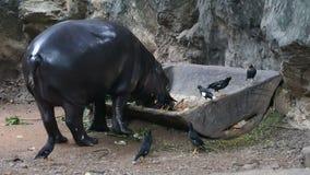 Pigmejowy hipopotam w zoo zbiory wideo