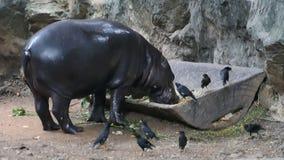 Pigmejowy hipopotam w zoo zbiory