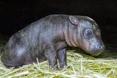 Pigmejowy hipopotama dziecko Zdjęcie Stock