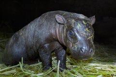 Pigmejowy hipopotama dziecko Zdjęcia Royalty Free
