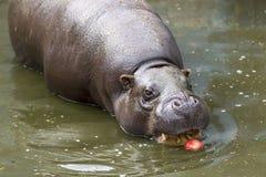 Pigmejowy hipopotamowy łasowania jabłko Obrazy Stock