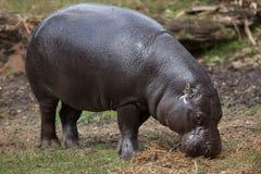 Pigmejowy hipopotamowy Choeropsis liberiensis Fotografia Royalty Free