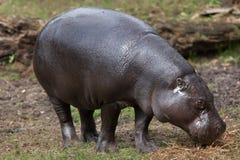 Pigmejowy hipopotamowy Choeropsis liberiensis Zdjęcie Stock