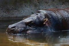 Pigmejowy hipopotamowy Choeropsis liberiensis lub Hexaprotodon liber Obrazy Stock