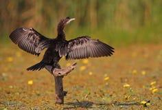 Pigmejowy kormoran Zdjęcia Royalty Free