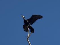 Pigmejowy kormoran Zdjęcie Royalty Free