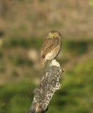 Pigmeo-búho ferruginoso, ridgwayi de Aegolius Imagen de archivo libre de regalías
