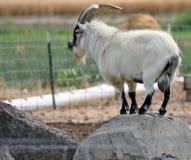 Pigmeo Billy Goat Fotografia Stock