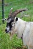 Pigmeo Billy Goat Fotografie Stock