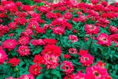 Pigmeo Rose Imagenes de archivo