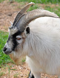 Pigmeu Billy Goat fotografia de stock