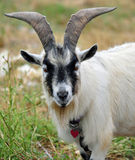 Pigmeu Billy Goat Fotos de Stock Royalty Free