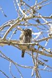Pigmeu-Coruja do norte Fotos de Stock Royalty Free