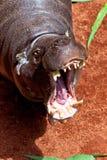 Pigmy бегемота, liberiensis Hexaprotodon Стоковое Изображение RF