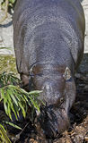 pigmy 4 hippopotamus Стоковое Изображение