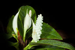 Pigmy Anthurium flower Royalty Free Stock Images