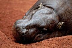 Pigmy de Hippopotamus, liberiensis de Hexaprotodon Images libres de droits