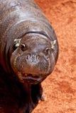 Pigmy de Hippopotamus, liberiensis de Hexaprotodon Photographie stock libre de droits