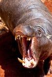 Pigmy de Hippopotamus, liberiensis de Hexaprotodon Photographie stock