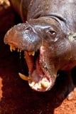Pigmy de Hippopotamus, liberiensis de Hexaprotodon Image libre de droits