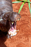 Pigmy del Hippopotamus, liberiensis di Hexaprotodon Immagine Stock Libera da Diritti