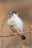 Pigmy falcon Stock Photography