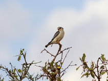 Pigmy Falcon Royalty Free Stock Images