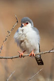 Pigmy falcon portrait Royalty Free Stock Photography