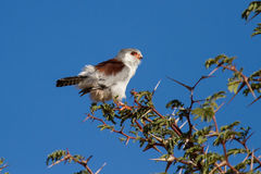 Pigmy falcon sit in thorn tree with bright blue sky beautiful bi Royalty Free Stock Images