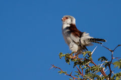 Pigmy falcon sit in thorn tree with bright blue sky beautiful bi Royalty Free Stock Photo