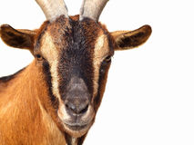 Pigmy goat. Close up of Pigmy Goat head on white background Stock Photography