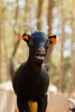 Pigmy goat Stock Photo