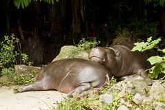 Pigmy hippo Royalty Free Stock Photography