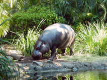 Pigmy Hippo in Captivity. A pigmy hippo walking around its swamp area Royalty Free Stock Images