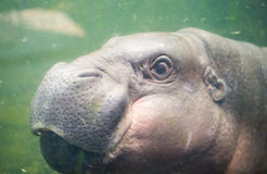 Pigmy hippo swimming in the water royalty free stock photography