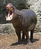 Pigmy hippopotamus 2 Stock Photography