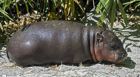 Pigmy hippopotamus 10 Royalty Free Stock Photo
