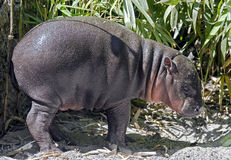 pigmy latin de nom de libiriensis de hippopotamus de hexaprotodon Photographie stock libre de droits