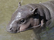 Hippopotame 9 de Pigmy Photo stock