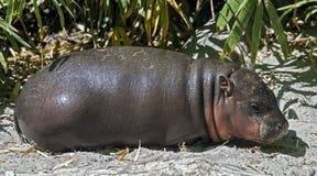 pigmy latin de nom de libiriensis de hippopotamus de hexaprotodon Photo libre de droits