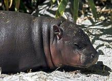pigmy latin de nom de libiriensis de hippopotamus de hexaprotodon Images libres de droits