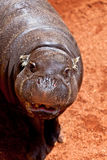pigmy liberiensis hippopotamus hexaprotodon Стоковая Фотография RF